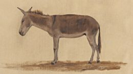 Frederic Edwin Church: A Donkey (1853). Cooper-Hewitt Smithsonian Design Museum, New York