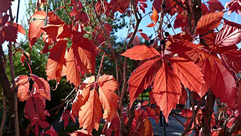 Blätter im Herbst. Foto B. Denscher