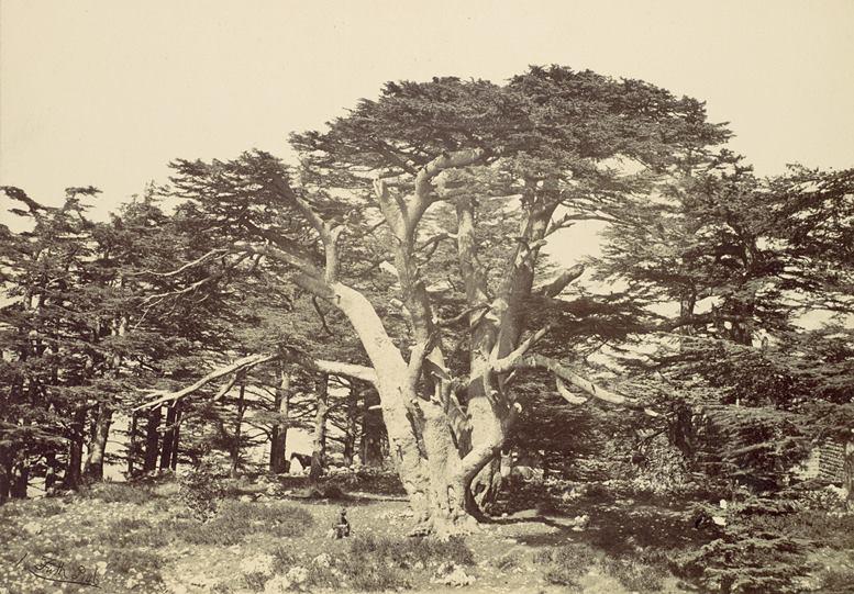 Francis Frith: Die größte Zeder des Libanon, 1857. Fotografie (Metropolitan Museum of Art, New York)