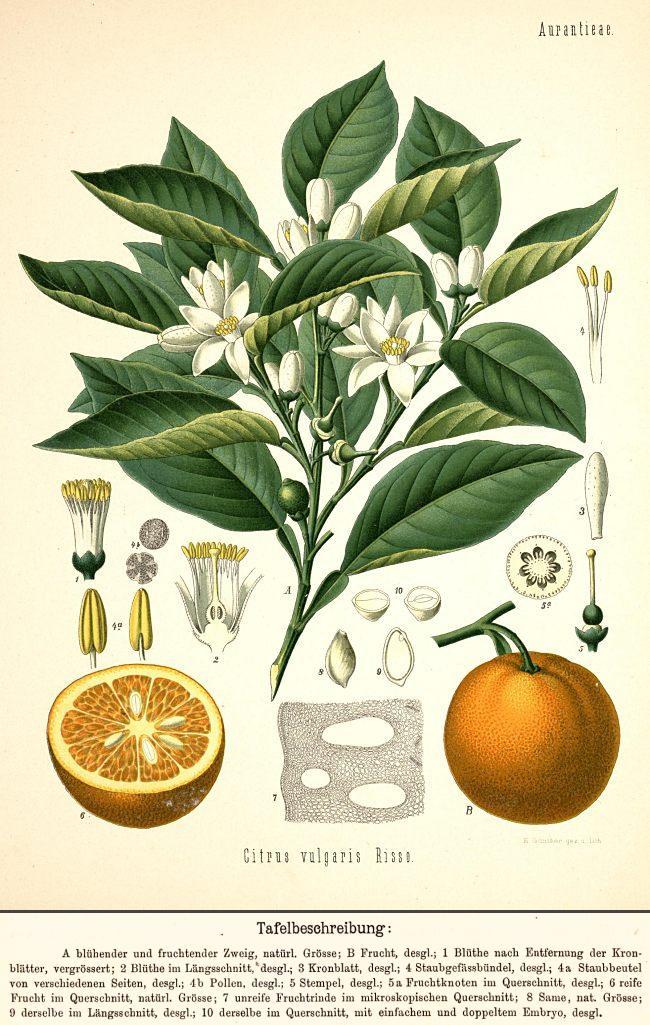 """Pomeranze bzw. Bitterorange aus """"Köhler's Medizinal-Pflanzen in naturgetreuen Abbildungen mit kurz erläuterndem Texte"""", gezeichnet von Walther Müller, erschienen 1887."""