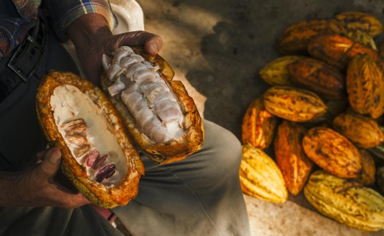 Kakaofrucht halbiert, Foto © Eddie Zaletas