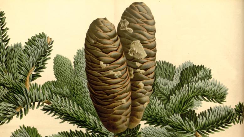 """Numidische Tanne, Abbildung aus der Zeitschrift """"Flore des serres et des jardins de l'Europe"""", Bd. 17. Hg. Louis van Houtte, Gent 1845"""