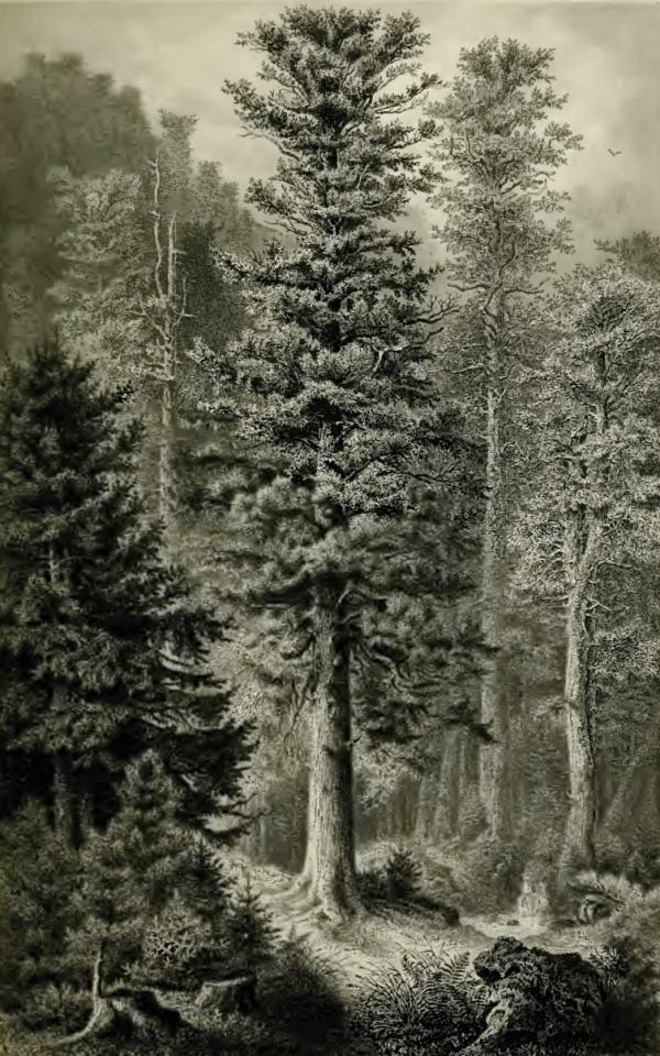 Tanne, gezeichnet von Ernst Heyn. Aus: E.A. Roßmäßler, Der Wald. Leipzig & Heidelberg 1881.